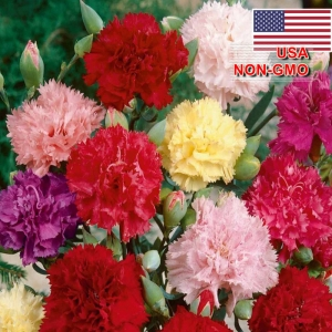 hat giong hoa cam chuong kep   mix  dianthus caryophyllus