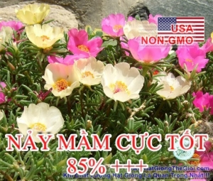hat giong hoa muoi gio my don   mix  portulaca