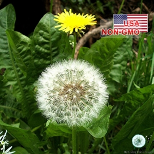 hat giong rau bo cong anh  taraxacum officinale