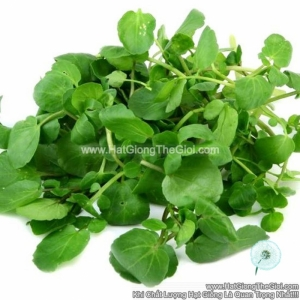 hat giong cai xoong   la to broad leaf  nasturtium officinale