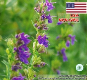 hat giong bai huong   hyssop  hyssopus officinalis