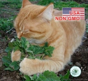hat giong catnip   co meo  nepeta cataria