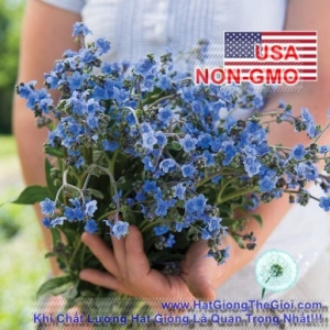 hat giong hoa luu ly   forget me not  cynoglossum amabile