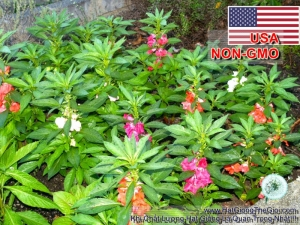 hat giong hoa mong tay lun   30cm mix  impatiens balsamina