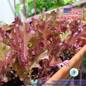 hat giong xa lach oakleaf   red saladbowl  lactuca sativa