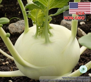 hat giong su hao   trang usa  brassica oleracea gongylodes