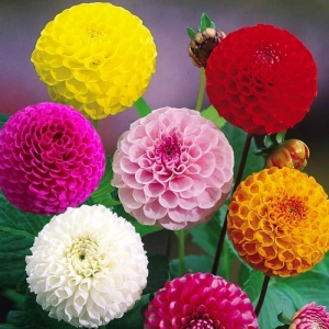 hat giong thuoc duoc to ong   mix mau  dahlia variabilis